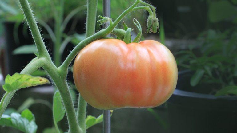 7 dôvodov, prečo vo vašej záhrade pestovať paradajky