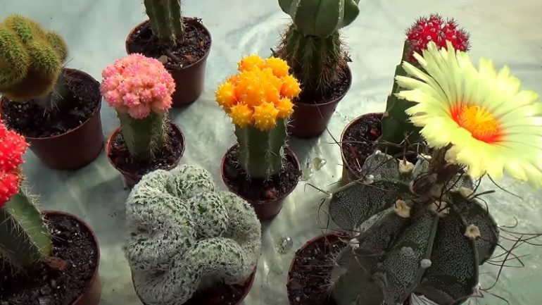 kvitnúce kaktusy