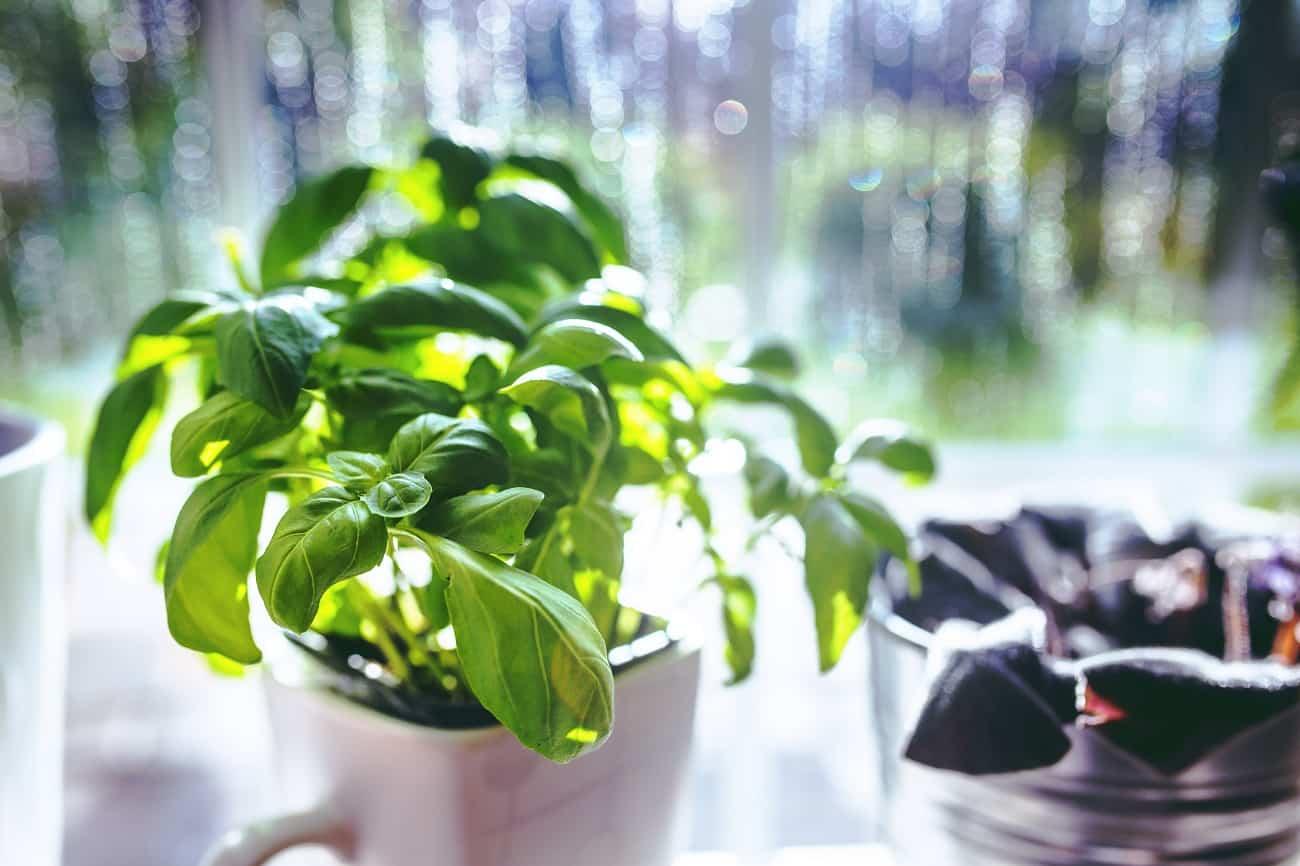 bazalka, liečivá rastlina, bylinky