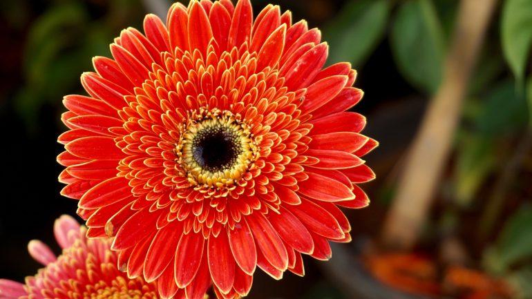 kvet, gerbera