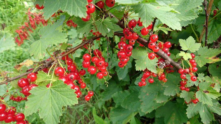 Ako rozmnožovať ríbezle, egreše, maliny a iné ovocné kríky?