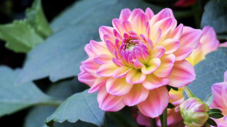 kvety, dhalia