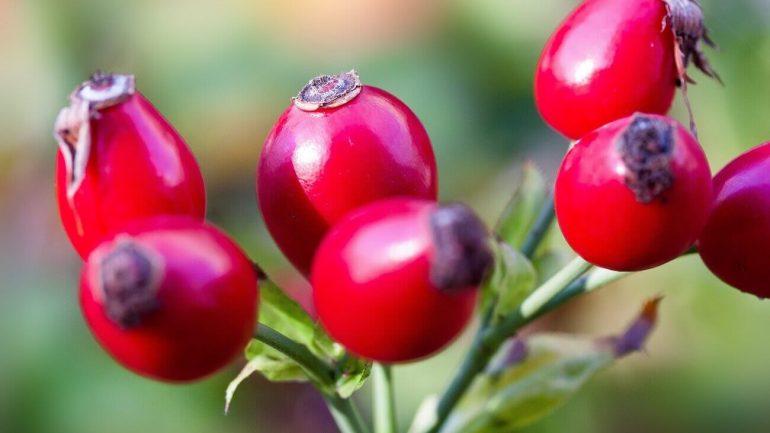 šípky, liečivé rastliny