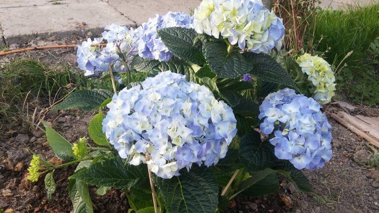 hortenzie, kvety
