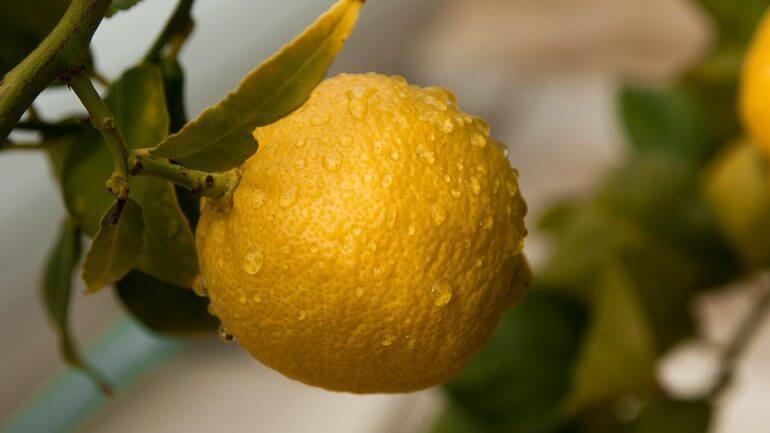 Rady, ako vypestovať citrónovník