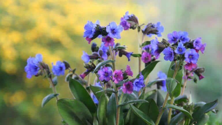 plúcnik, liečivé rastliny