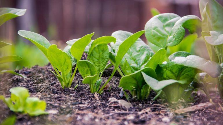 Prečo pestovať špenát