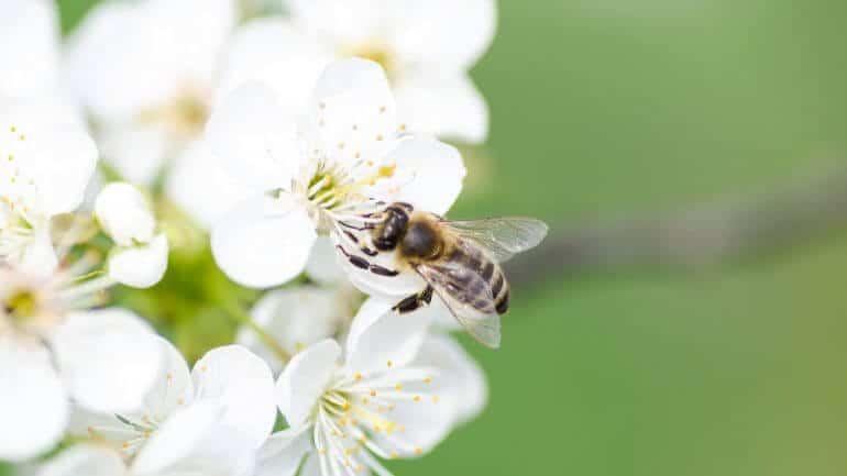 včela, kvety