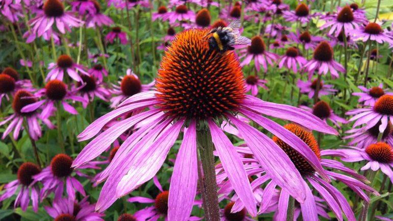 10 úžasných účinkov echinacei pre vaše zdravie