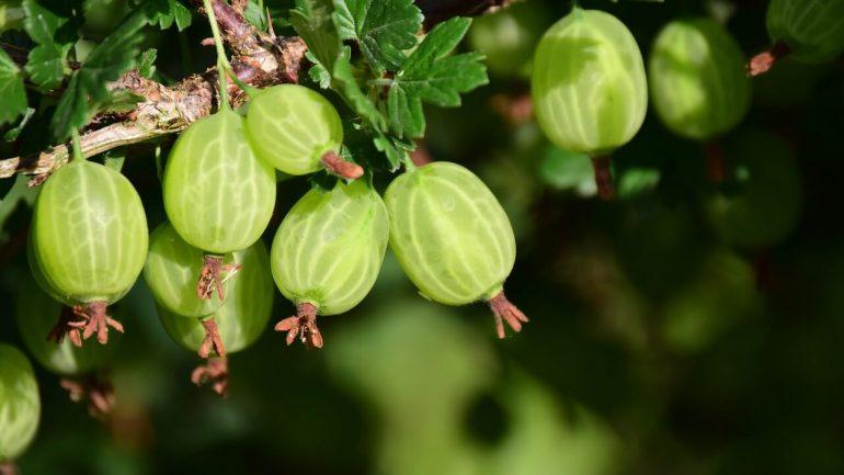 Egreše: Ovocie z vašej záhrady nabité vitamínmi a minerálmi