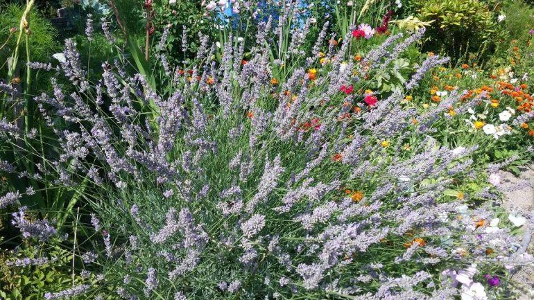 Zbierame liečivé rastliny: Viete, čo dokáže levanduľa?