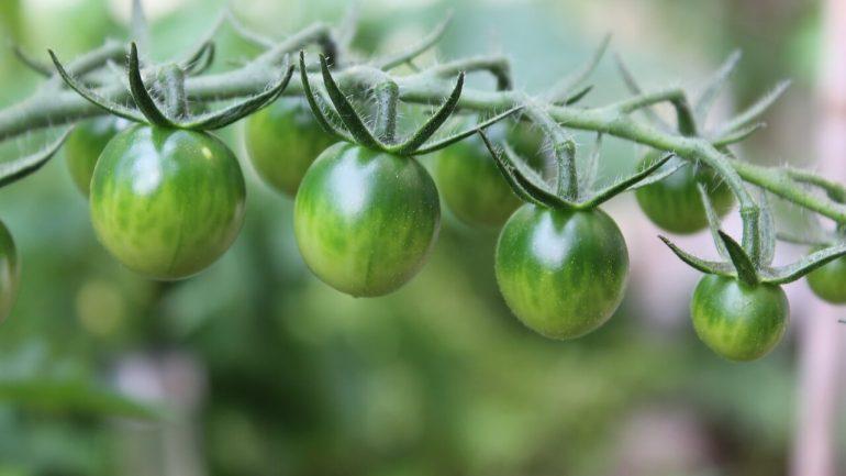 ako pripraviť zelené paradajky
