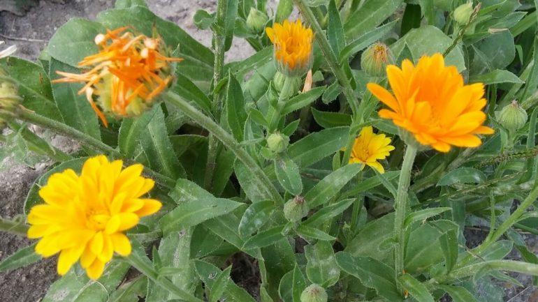 Zbierame liečivé rastliny: Nechtík lekársky na kŕčové žily a psoriázu