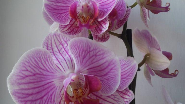 Rozmnožovanie orchidey a brečtanu: Niekoľko dobrých rád, ktoré sa oplatí vedieť