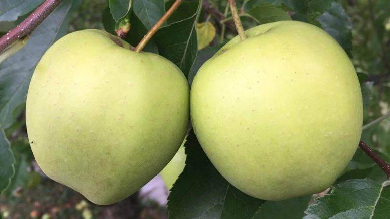 Kedy a ako správne oberať jablká