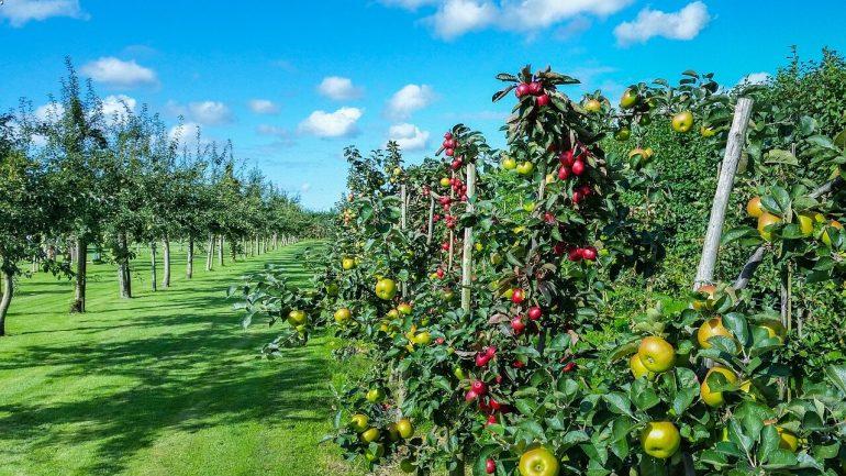 ako sadiť ovocný strom