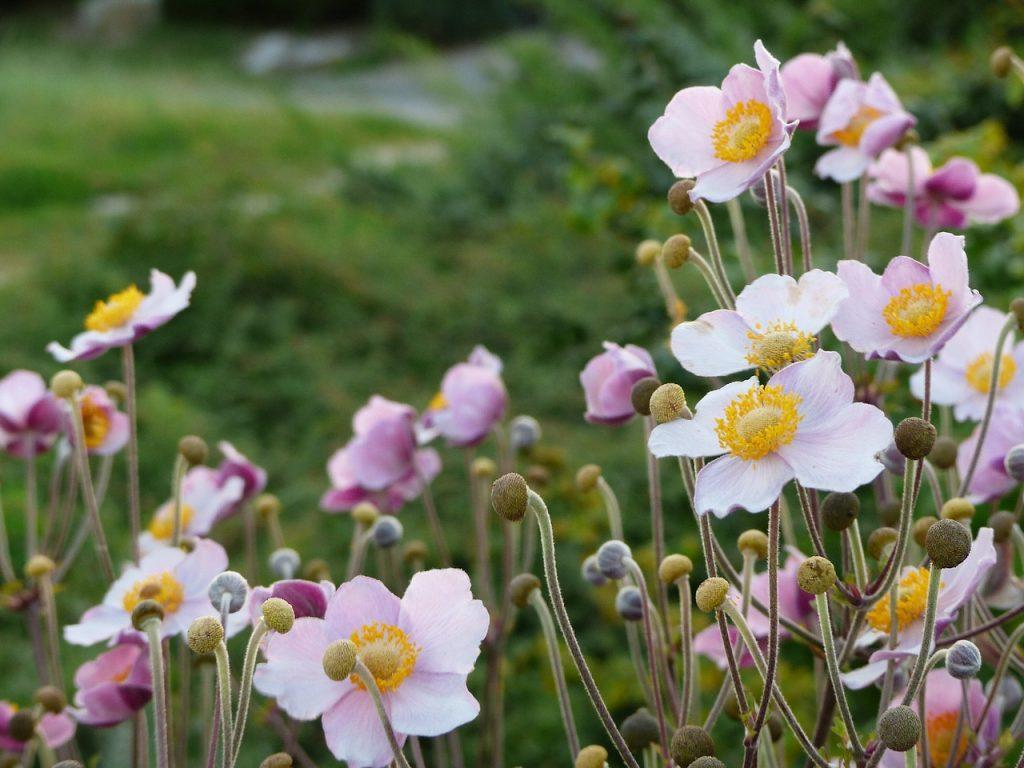 Veternica kvitne aj počas neskorej jesene.