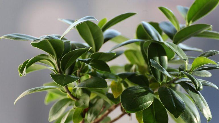 Figovník kaučukový – aké chyby robíme pri jeho pestovaní?