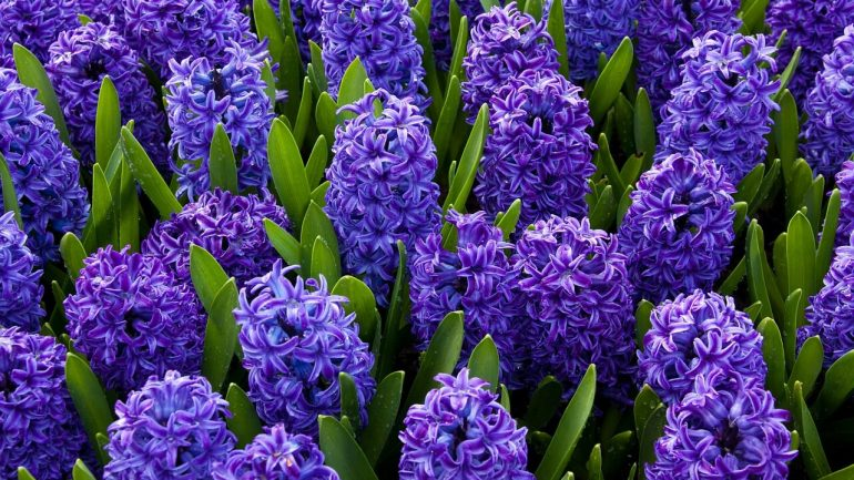 Hyacint východný – ako si dopestovať túto krásu jari