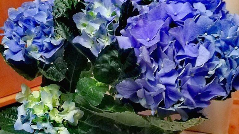 Ako pestovať hortenziu v kvetináči