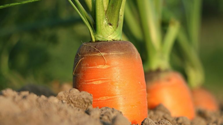 Skorá mrkva v záhrade: Toto treba vedieť o jej sadení