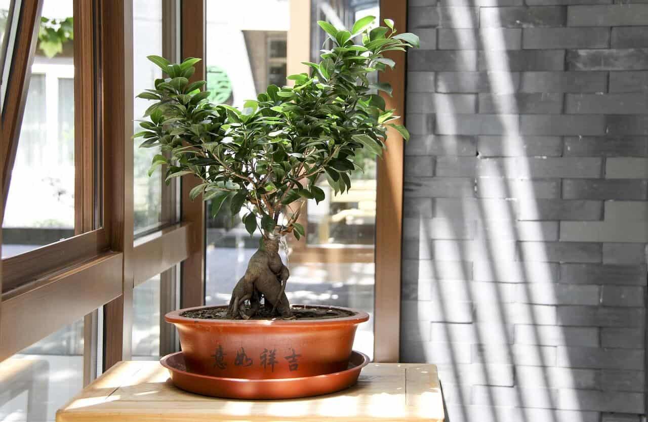 pestovanie bonsajov