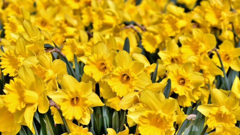 Narcisy: Symbol jarného slnka. Tu sú rady, aby vám krásne kvitli