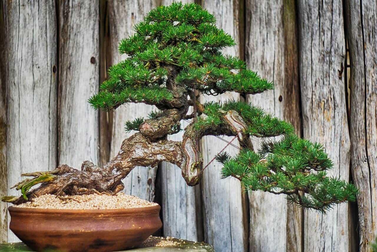 ako pestovať bonsai