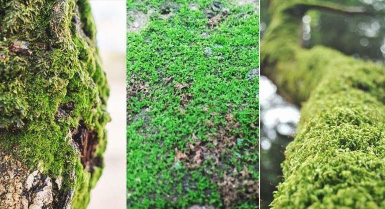 2 metódy, ako vysadiť mach vo vašej záhrade