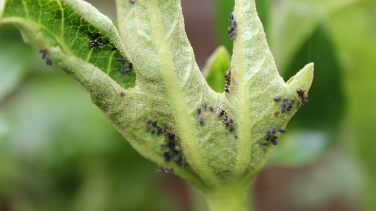 aphids-2772215_960_720