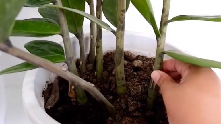 Ako množiť rastlinku bohatstva zamiokulkas?