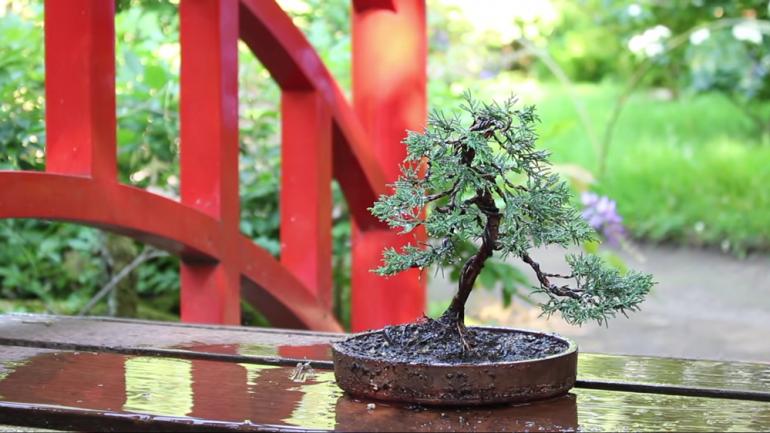 Nestrácajte čas ani peniaze: Urobte si vlastný bonsaj zo smreku alebo jedličky!