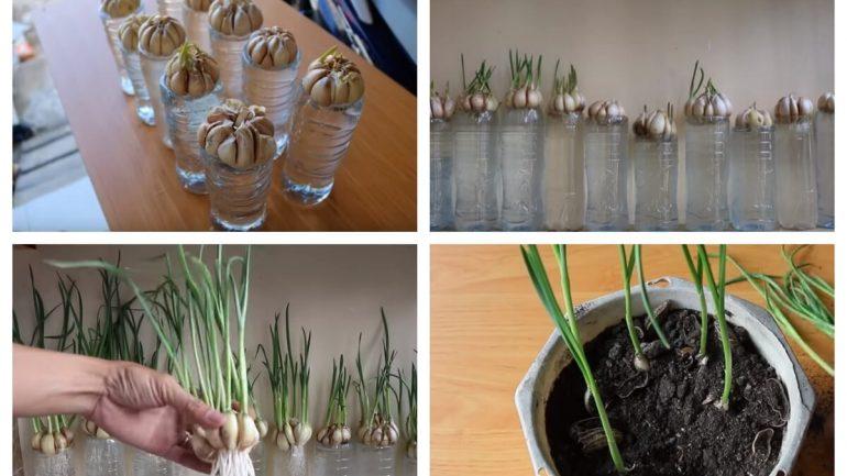 ako pestovať cesnak v kvetináči