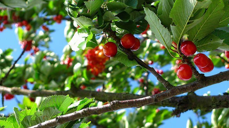 čerešňa - hnojenie