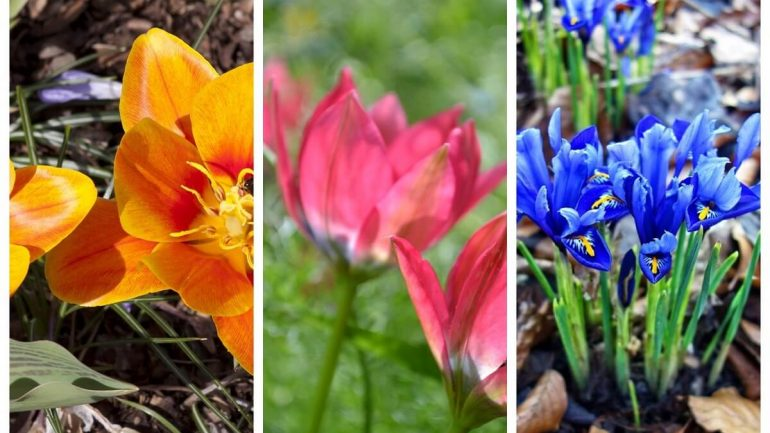 divoké tulipány