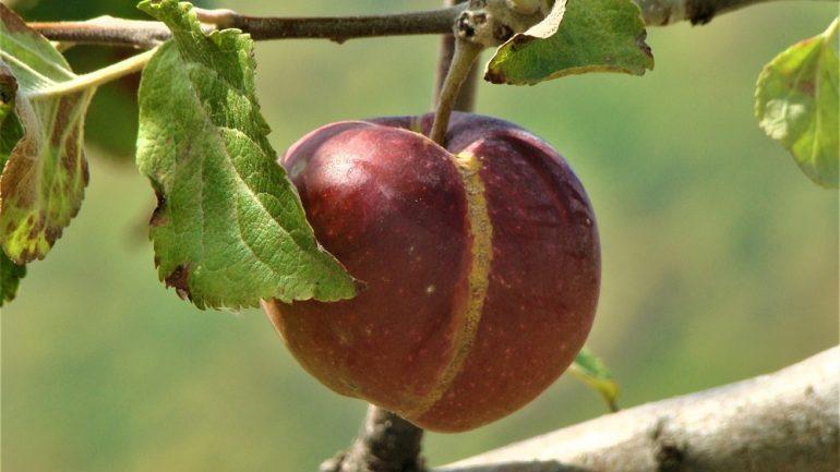 Odstráňte deformované, poškodené a zakrpatené plody čo najskôr