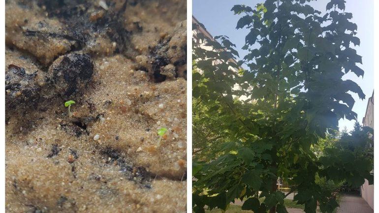 pestovanie najrýchlejšie rastúceho stromu
