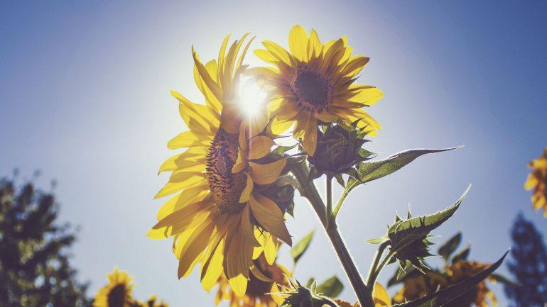 9 zábavných faktov, ktoré možno neviete o slnečniciach