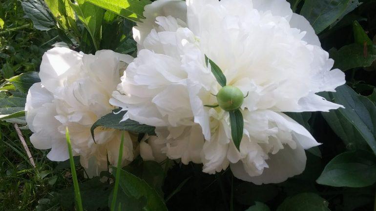 ako strihať kvety