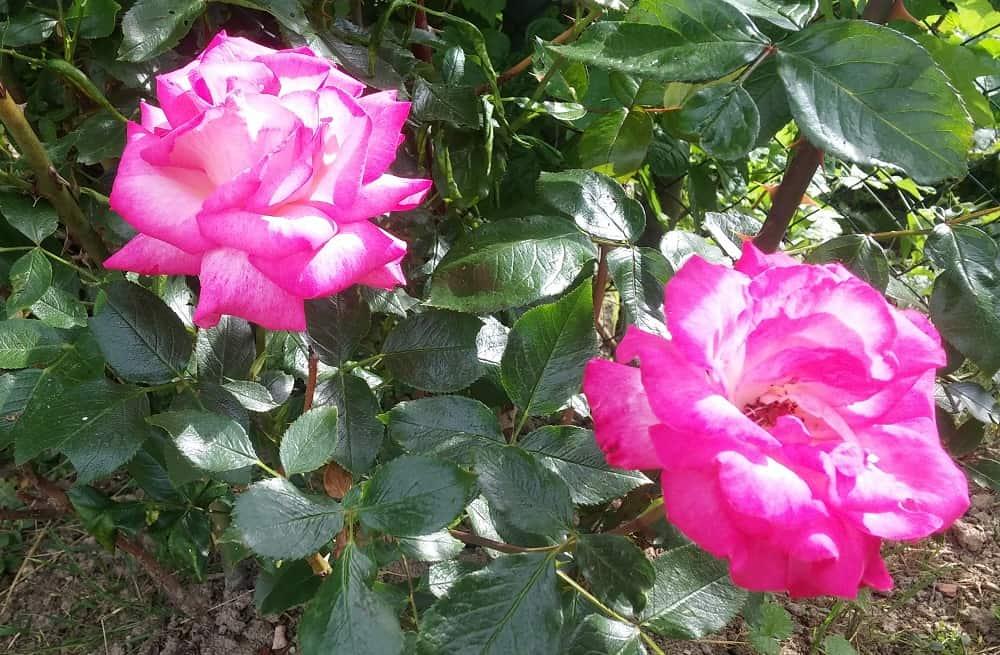škodcovia ruží