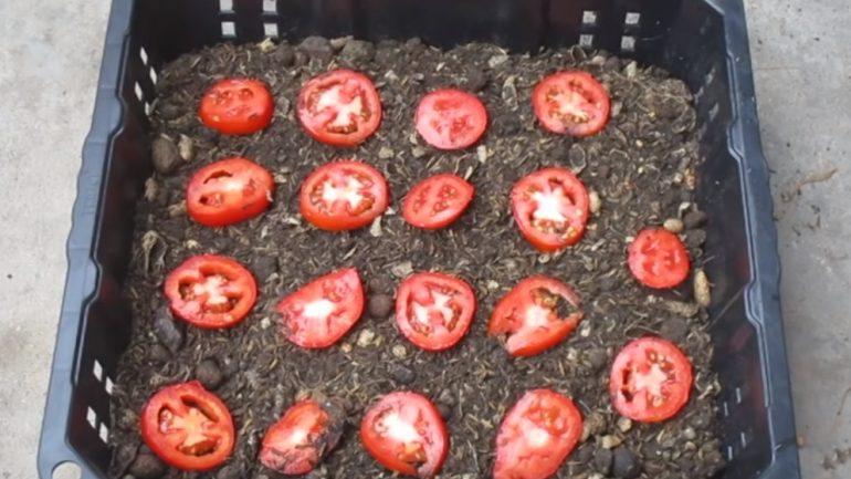 Video: Ako vypestovať vlastné paradajky v kvetináči