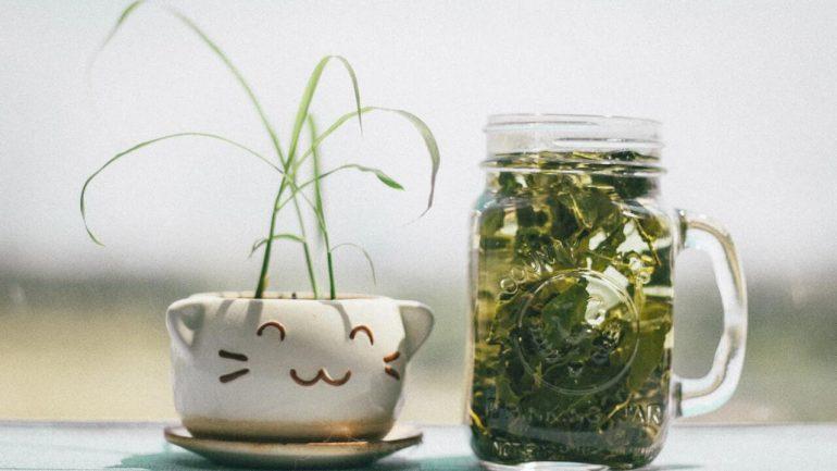 Ako pestovať čajovník v kvetináči? Tu je pár krokov k vlastnému čaju
