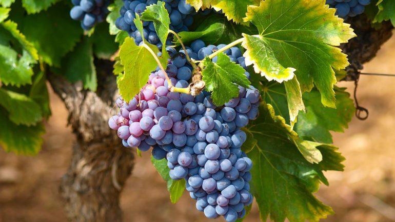 Ako ochrániť vinič pred hladnými vtákmi