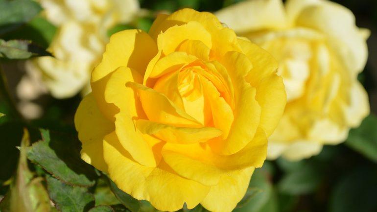10 fascinujúcich vecí, ktoré ste (možno) nevedeli o ružiach