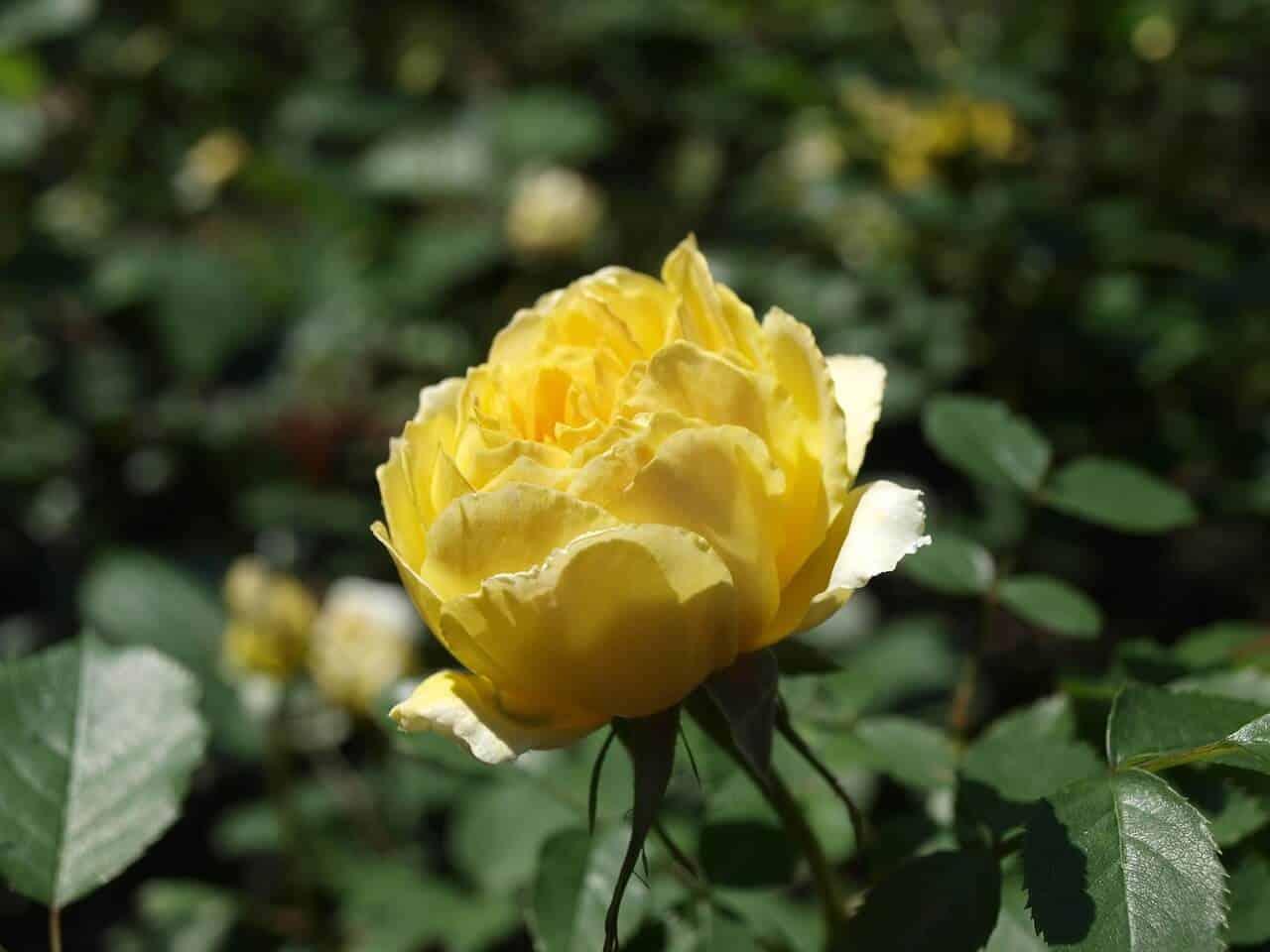 bylinková záhrada a ruže