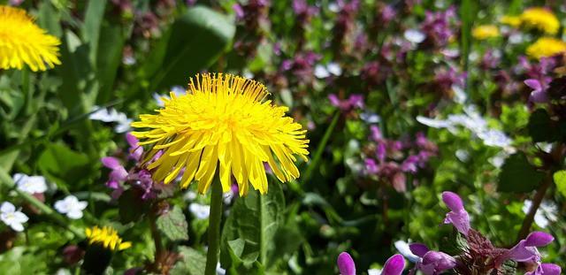 6 liečivých burín, ktoré rastú vo vašej záhrade – I. časť