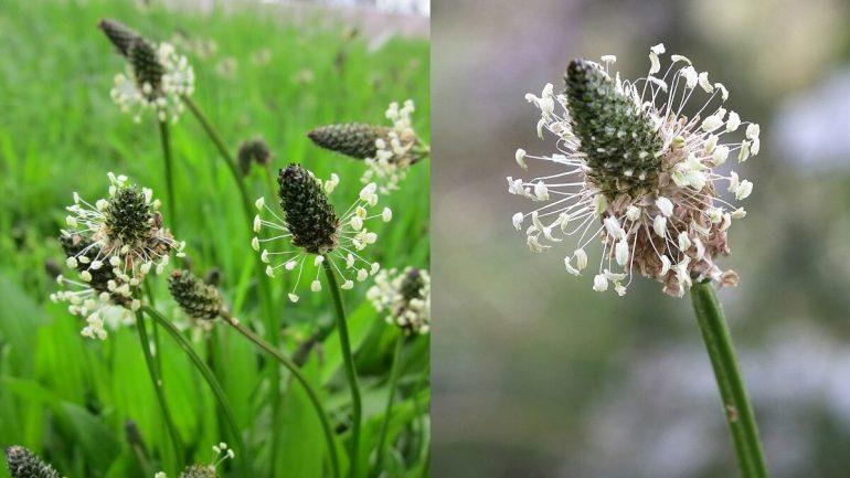Zber liečivých rastlín:  Skorocel zahojí vaše rany