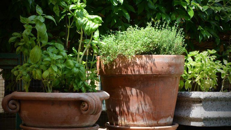 ako pestovať tymián
