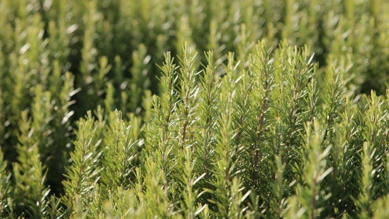 Rozmarín: Kompletný manuál  pre pestovanie tejto liečivej bylinky