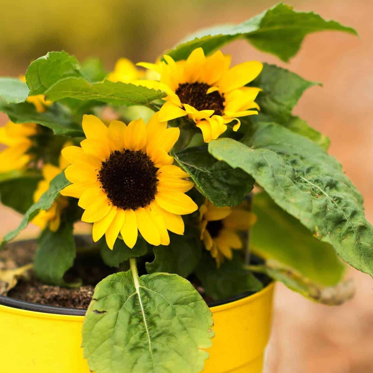slnečnice v kvetináči